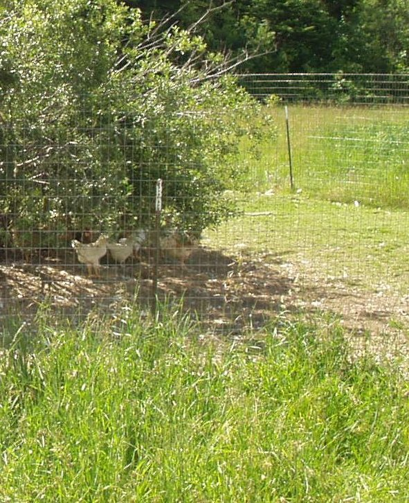 my old chicken run with field fence
