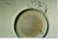 This Coscinodiscus species is only 71.4 microns in diameter, yet clearly shows how wonderfully complex they are. Petri dish style connection with hundreds of individual depressions to gain what it needs from the outside. And with all that complexity, it is pizza pie in divisions also.