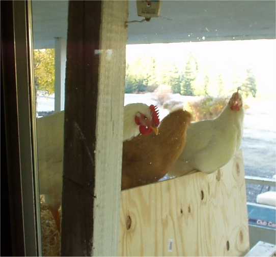 free range chickens looking in through the kitchen window